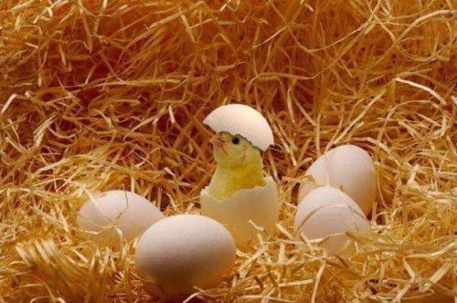 Цыпленок вылупляется