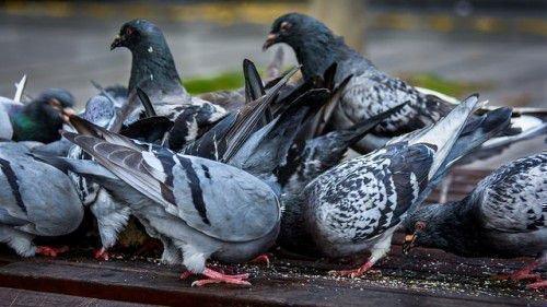 Дикие голуби