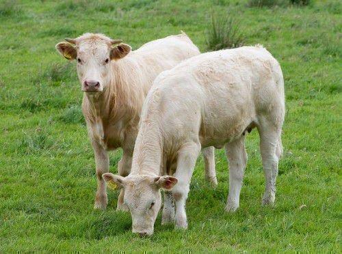 Два белых теленка