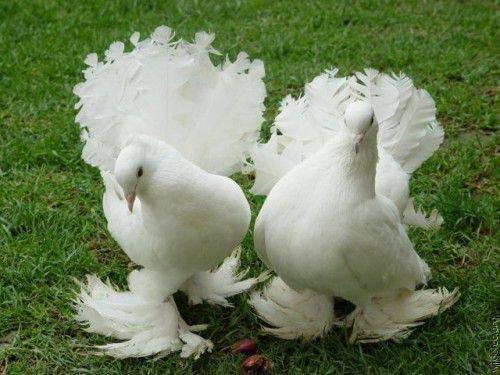 Два голубя павлина