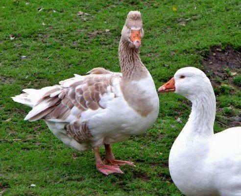 Два гуся