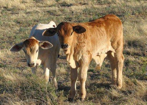 Два худых теленка