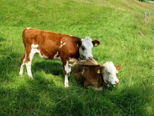 Два теленка на лугу