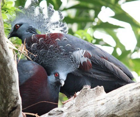 Два венценосных голубя