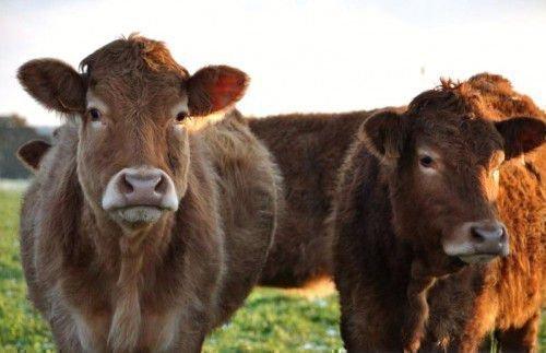 Две лимузинские коровы