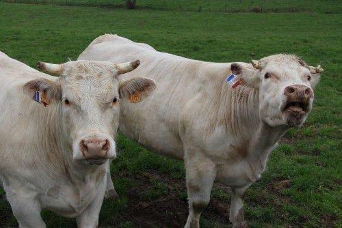 Две шаролезские коровы