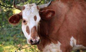 Мясная порода коров: герефордская.