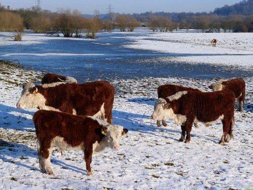 Герефорды зимой