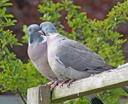 Голубь и голубка