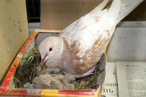 Голубь с голубятами