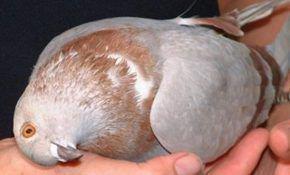 Симптомы и лечение вертячки у голубей