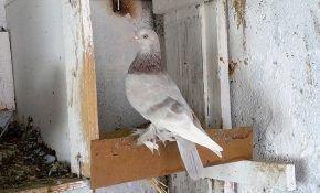 Описание бойных голубей