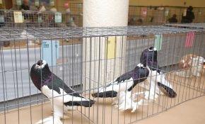 Вакцина  для голубей: применение препарата ласота и его инструкция