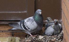 Как сделать гнездо для голубей?