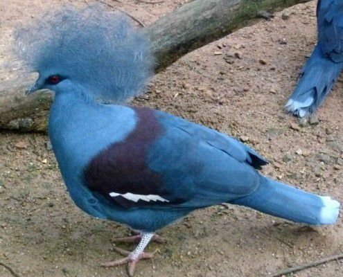 Голубохоглый венценосный голубь