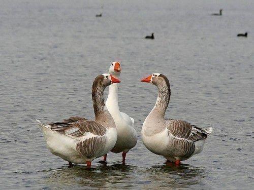 Гуси на озере
