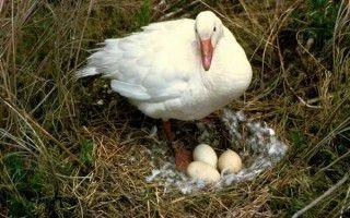 Когда начинают нестись домашние гуси