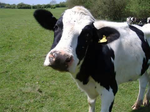 Холмогорская корова морда