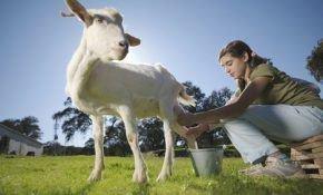 Осуществление доения козы