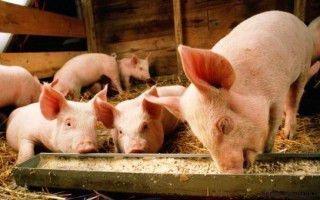 Особенности в разведении и уходе свиней в домашних условиях