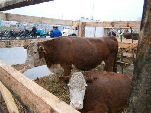 Казахская белоголовая корова ест солому