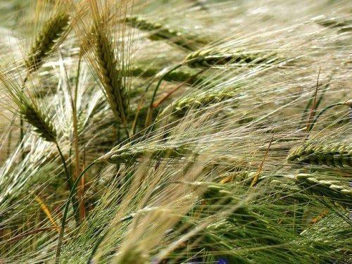 Колосья с зерном