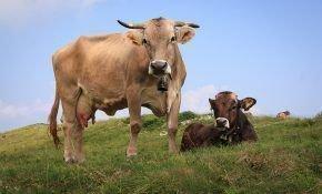 Животноводство как бизнес: разведение бычков и коров