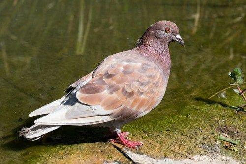 Коричневый голубь