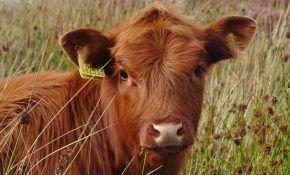 Как кормить телят бычков в домашних условиях
