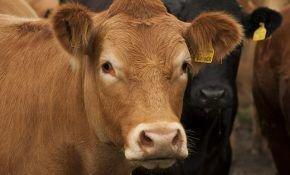 Как долго живут коровы