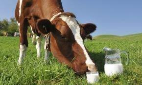 Как правильно составить рацион лактирующих коров