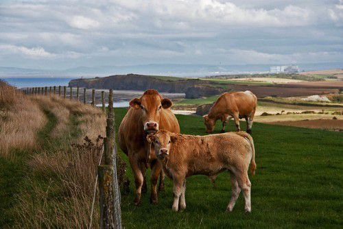 Корова и теленок на пастбище
