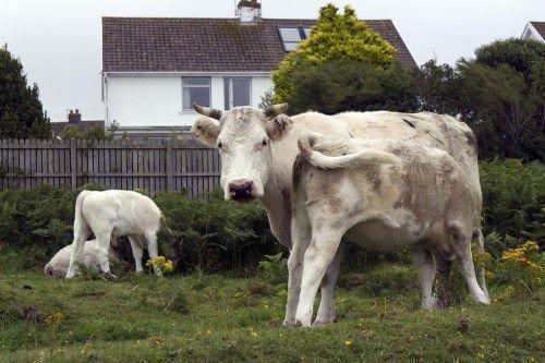 Корова кормит теленка