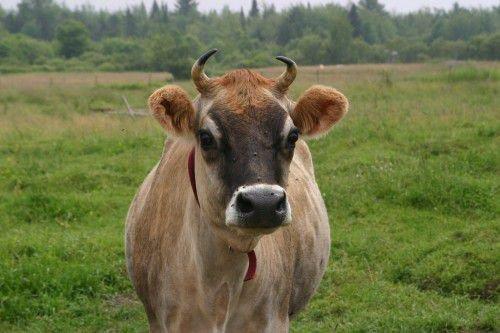 Корова королевской породы