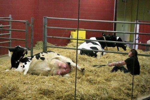 Корова лежит на сене