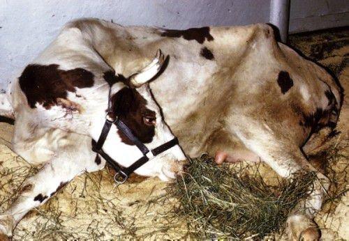 Изображение - Воспаения коленных суставов у крупного рогатого скота korova-lezhit2-500x346