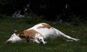 Болезни после отела у коров: симптомы и лечение