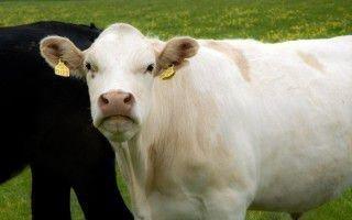 О резке коров
