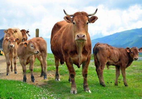 Корова на прогулке