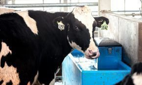 Особенности поилок для коров