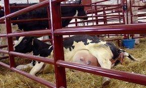 Опасное заболевание коров – эндометрит