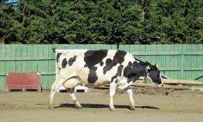Заболевания вымени у коровы: лечение