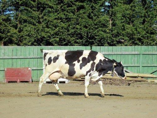 Корова с большим выменем