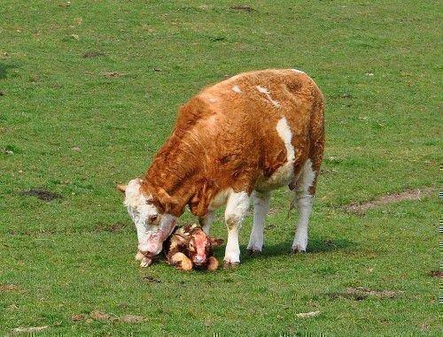 Корова с новорожденным теленком в поле