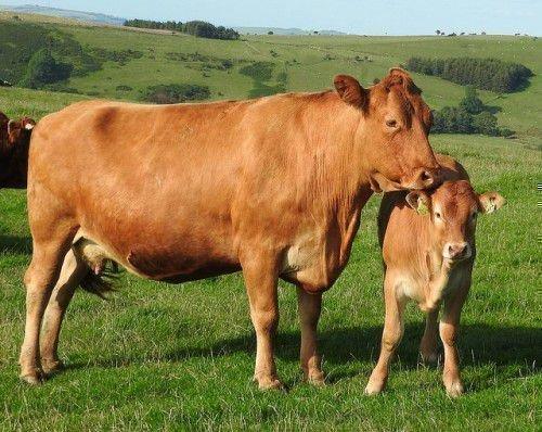 Изображение - Воспаения коленных суставов у крупного рогатого скота korova-s-telenkom-na-trave-500x398
