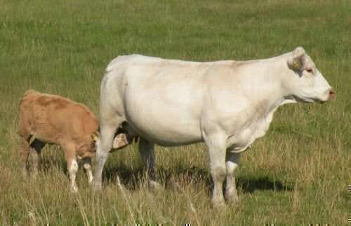 Корова с желтым теленком