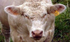 Шароле – мясная порода домашнего скота
