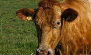 Симптомы и лечение кетоза у коров
