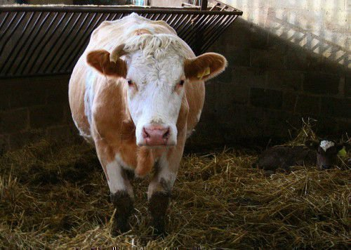 Корова в хлеву