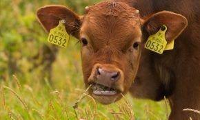 Что делать если корова перестала жевать жвачку?